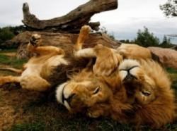 Секс он лев она львица